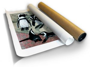 Marc Alexander | African Penguins | Print in Core